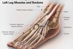 Osirix Example-Anterior Compartment Left Leg Muscles & Tendons