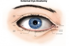 External Eye Anatomy