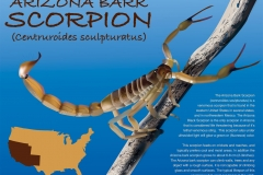 Arizona_Bark_Scorpion