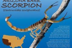 Arizona_Bark_Scorpion